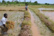 La production de riz prometteuse dans le territoire de Kailo