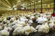 Suspension des importations des volailles et du matériel d'élevage de volaille usagé