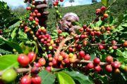 Tenue imminente d'un forum sur la relance des filières café-cacao en RDC