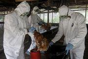 La grippe aviaire déclarée en RDC