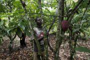 Mambasa: la production du cacao est passée de 1 000 à 2 000 tonnes en 2015